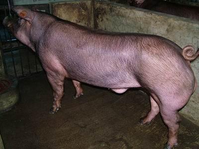 台灣動物科技研究所竹南檢定站9507期D0325-03種公豬拍賣相片