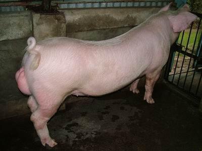 台灣動物科技研究所竹南檢定站9507期L0170-01種公豬拍賣相片