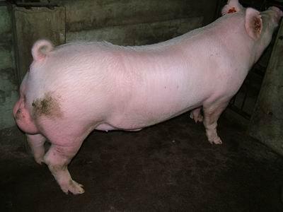 台灣動物科技研究所竹南檢定站9507期Y0210-05種公豬拍賣相片