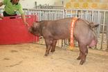 台灣種豬發展協會9603期D1082-05拍賣照片(高價豬)