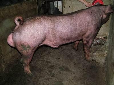 台灣動物科技研究所竹南檢定站9508期D1479-02種公豬拍賣相片