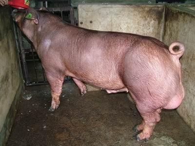 台灣動物科技研究所竹南檢定站9508期D1148-01種公豬拍賣相片
