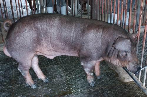 中央畜產會200610期D0240-10體型-全身相片