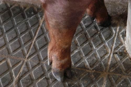 中央畜產會200610期D1546-04體型-四肢相片