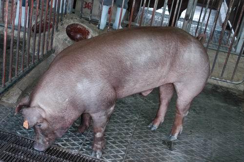 中央畜產會200610期D1483-02體型-全身相片