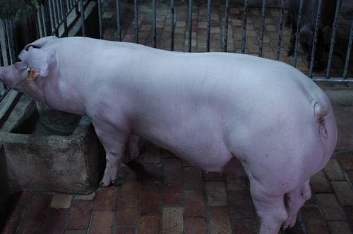 中央畜產會200611期L0051-07體型-全身相片
