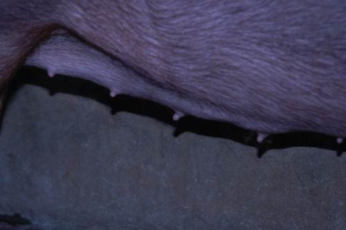 中央畜產會200611期D0266-08體型-性器外觀相片