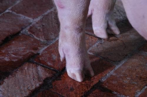 中央畜產會200611期L1422-02體型-四肢相片