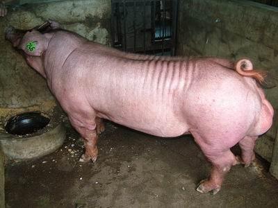 台灣動物科技研究所竹南檢定站9509期D0222-01種公豬拍賣相片