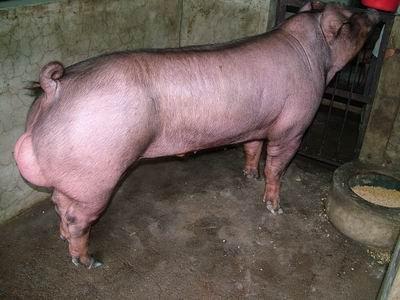 台灣動物科技研究所竹南檢定站9509期D1891-17種公豬拍賣相片
