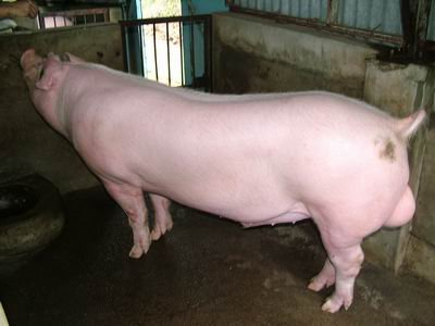 台灣動物科技研究所竹南檢定站9509期L0671-04種公豬拍賣相片