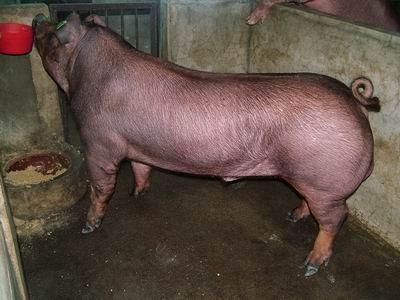 台灣動物科技研究所竹南檢定站9509期D0341-03種公豬拍賣相片