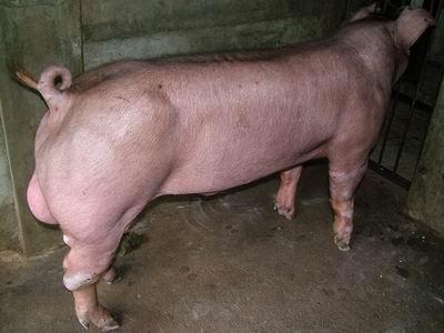 台灣動物科技研究所竹南檢定站9510期D0244-04種公豬拍賣相片