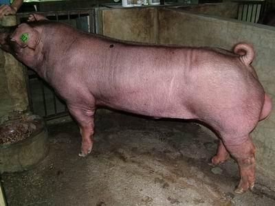 台灣動物科技研究所竹南檢定站9510期D1895-14種公豬拍賣相片