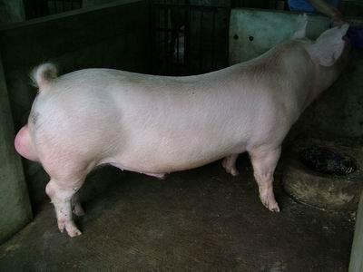 台灣動物科技研究所竹南檢定站9510期L0333-10種公豬拍賣相片