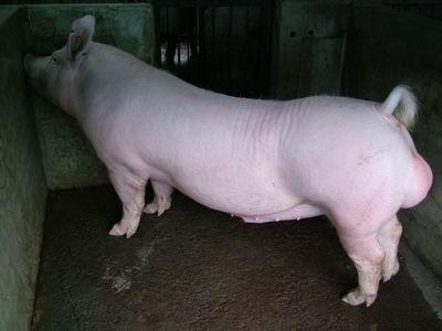 台灣動物科技研究所竹南檢定站9510期Y1115-01種公豬拍賣相片