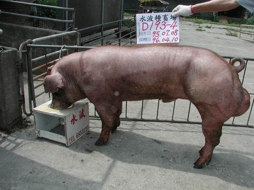 台灣種豬發展協會9603期D0193-04側面相片
