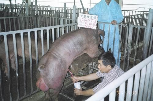 台灣種豬發展協會9603期D0457-05採精相片