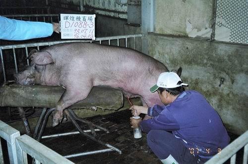 台灣種豬發展協會9603期D1088-03採精相片