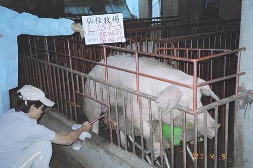 台灣種豬發展協會9603期L0159-03採精相片