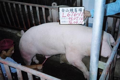台灣種豬發展協會9603期L0676-11採精相片