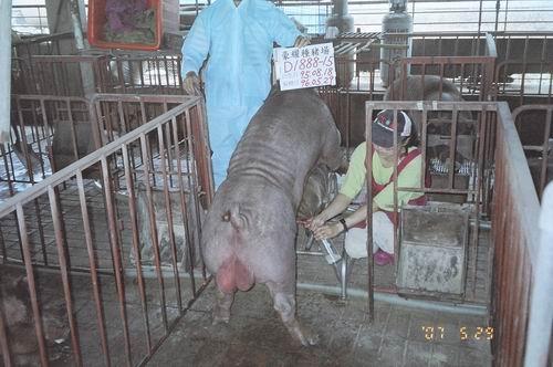 台灣種豬發展協會9604期D1888-15採精相片