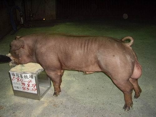 台灣種豬發展協會9604期D0084-04側片相片