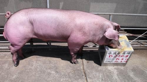 台灣種豬發展協會9604期D0220-08側面相片