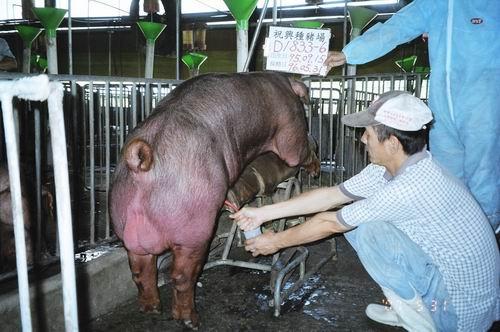 台灣種豬發展協會9604期D1833-06採精相片