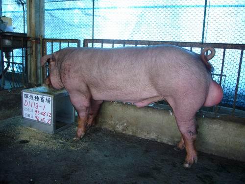 台灣種豬發展協會9604期D1113-01側面相片