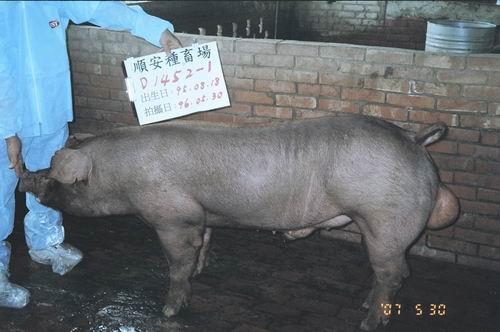 台灣種豬發展協會9604期D1452-01側面相片