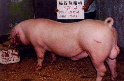 台灣種豬發展協會9604期L0086-04側面相片