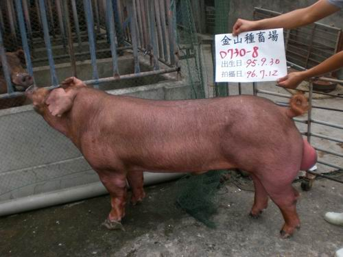 台灣種豬發展協會9605期D0730-08側面相片