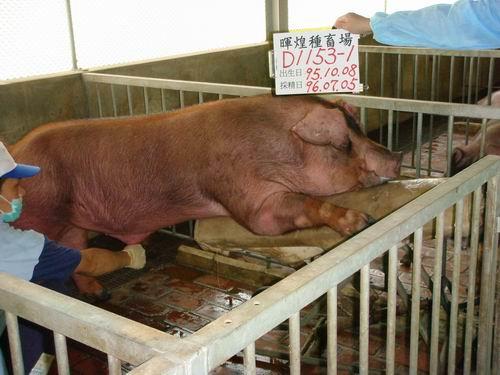 台灣種豬發展協會9605期D1153-01採精相片