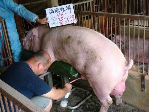 台灣種豬發展協會9605期L0046-01採精相片