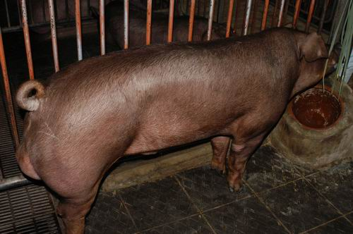 中央畜產會200701期D0131-02體型-全身相片