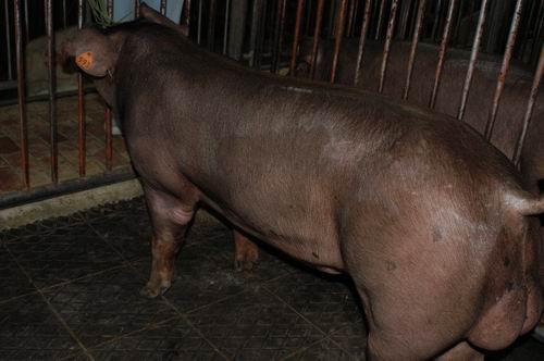 中央畜產會200701期D0131-04體型-全身相片