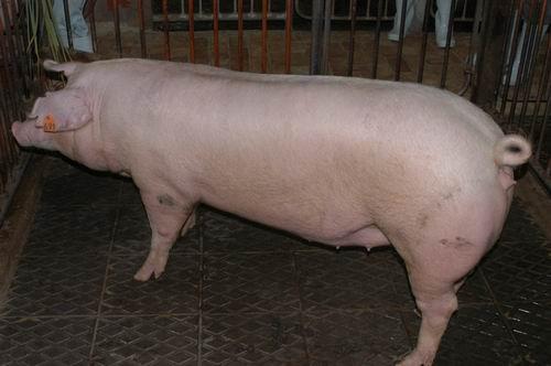 中央畜產會200701期L0123-10體型-全身相片