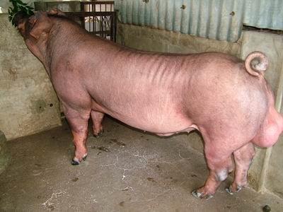 台灣動物科技研究所竹南檢定站9411期D0984-13種公豬拍賣相片