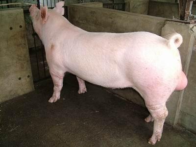 台灣動物科技研究所竹南檢定站9411期Y0154-01種公豬拍賣相片