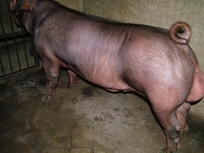 台灣動物科技研究所竹南檢定站9410期D0962-07種公豬拍賣相片