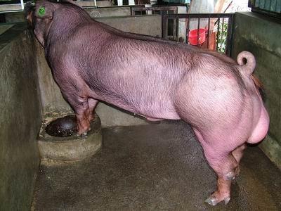 台灣動物科技研究所竹南檢定站9409期D1070-01種公豬拍賣相片
