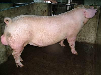 台灣動物科技研究所竹南檢定站9409期L1716-03種公豬拍賣相片