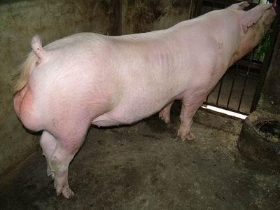 台灣動物科技研究所竹南檢定站9408期L1145-13種公豬拍賣相片