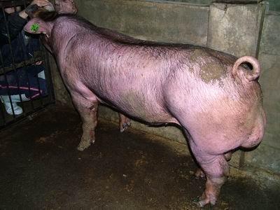 台灣動物科技研究所竹南檢定站9407期D1101-02種公豬拍賣相片