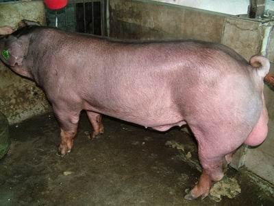 台灣動物科技研究所竹南檢定站9406期D0726-02種公豬拍賣相片