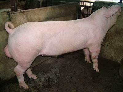台灣動物科技研究所竹南檢定站9406期L1120-12種公豬拍賣相片