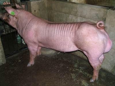 台灣動物科技研究所竹南檢定站9405期D1065-01種公豬拍賣相片