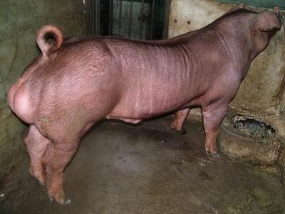 台灣動物科技研究所竹南檢定站9405期D1065-03種公豬拍賣相片