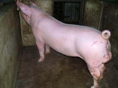 台灣動物科技研究所竹南檢定站9405期L0256-02種公豬拍賣相片